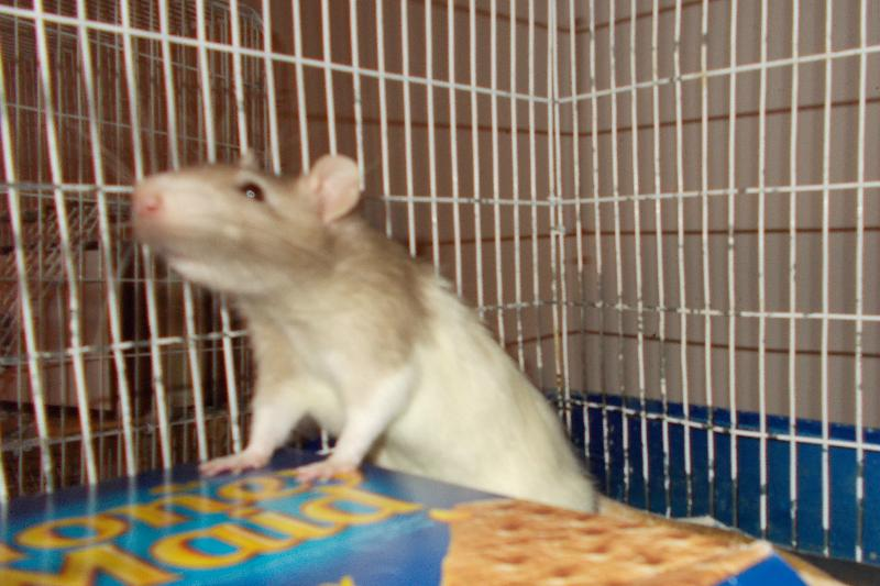 biscuit ratty