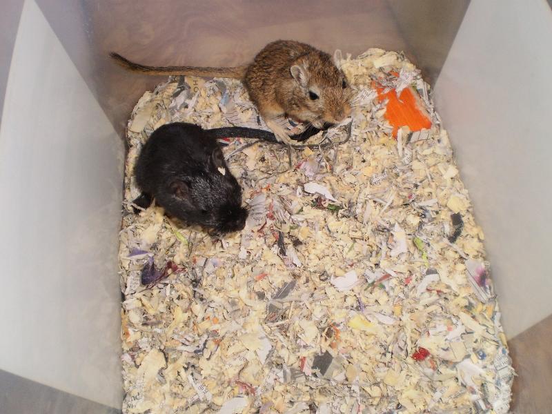 2 new gerbils fred barney