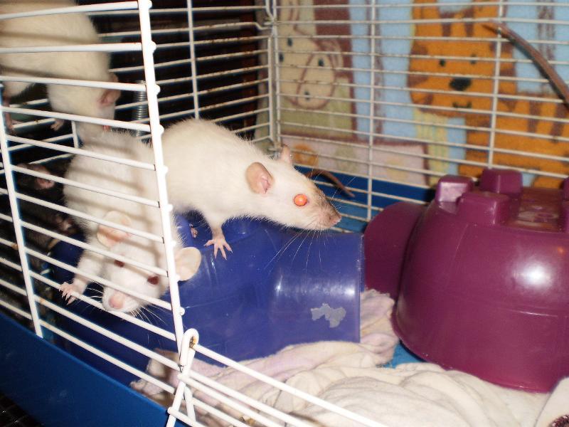 dwarf ratties 2