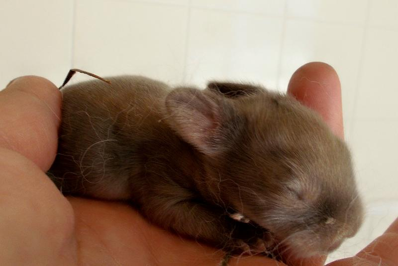 baby brown bunny