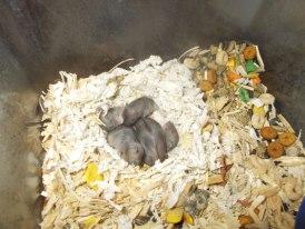 baby hams
