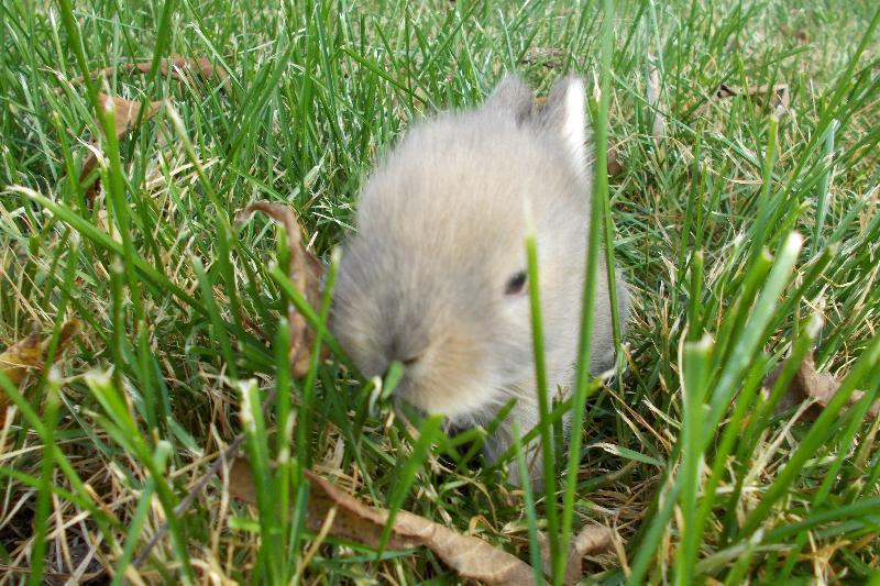 baby bun grass brown