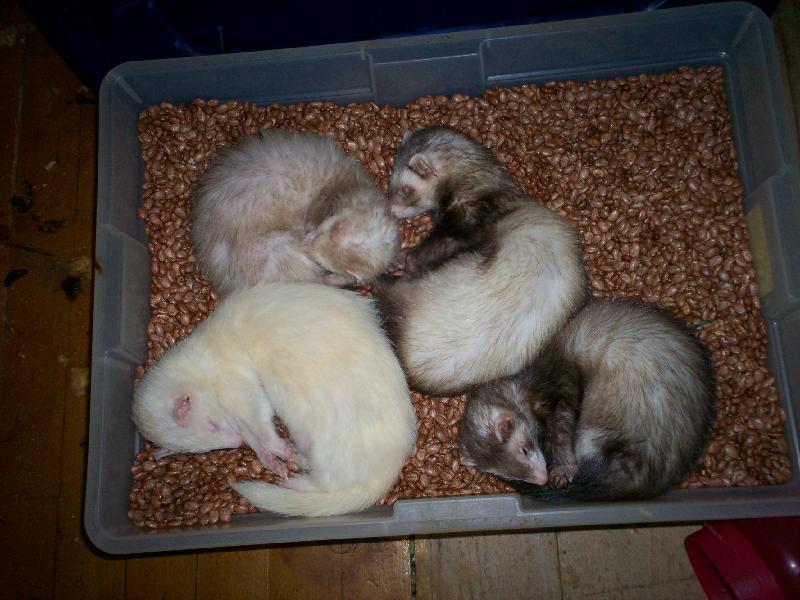 Ferret Slumber Party