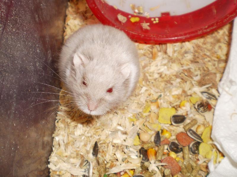 pap hamster
