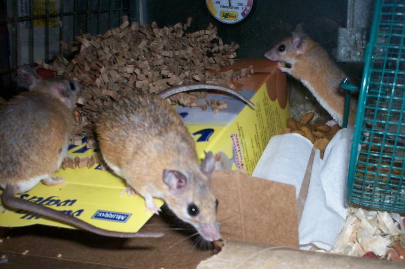 spiny mice