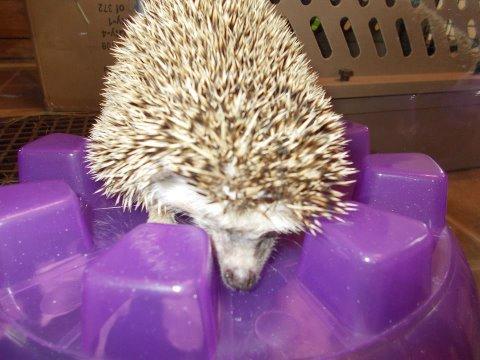 lucky hedgehog