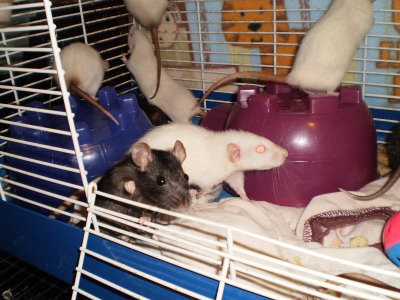 dwarf ratties 1