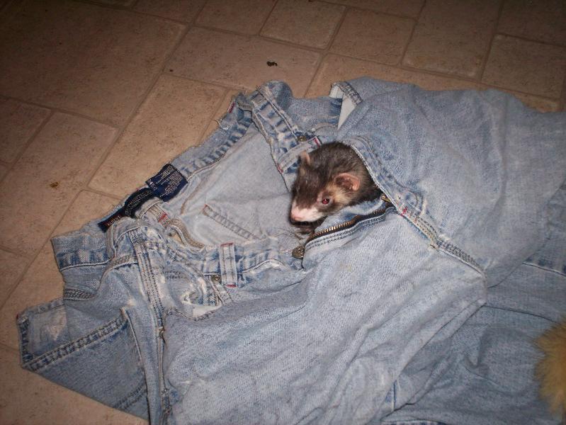 trouser weasel