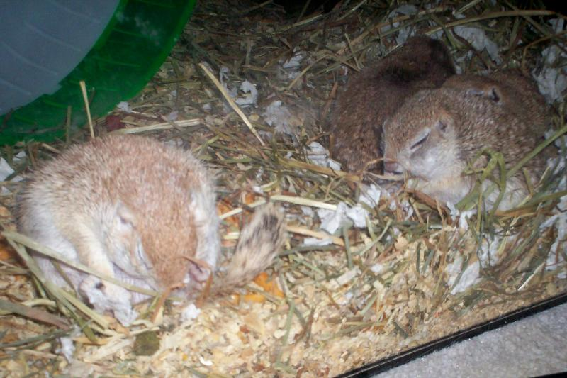 sleeping ground squirrels