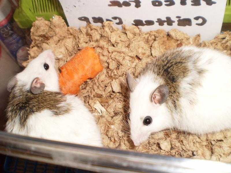 asf rats