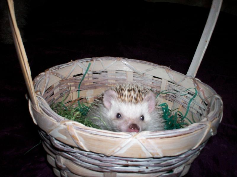 hedgie in basket