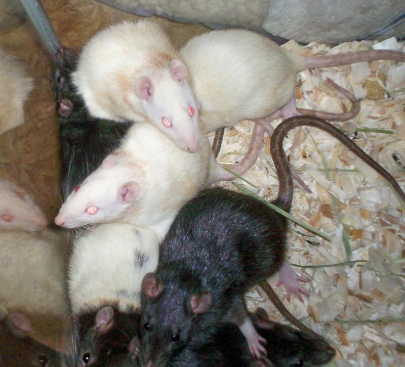 7 rats