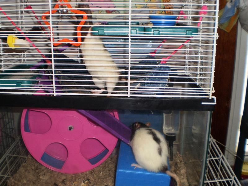 rats lola alice