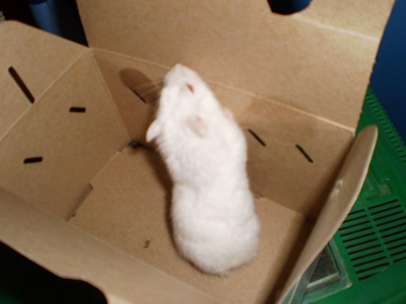 new dwarf white