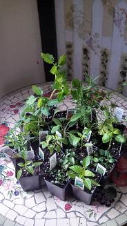 Herbs 13