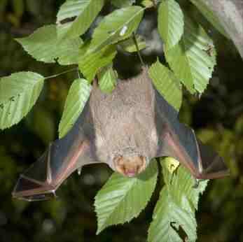 Upsidedown Bat