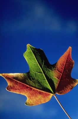 red-green-leaf.jpg