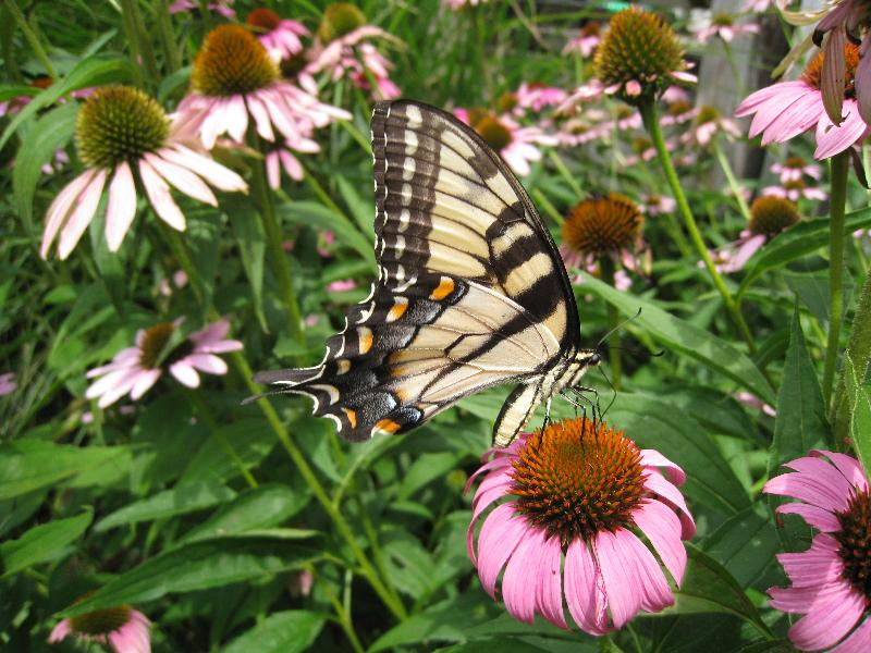 A Tiger Swallowtail butterfly nectaring on a Purple Coneflower