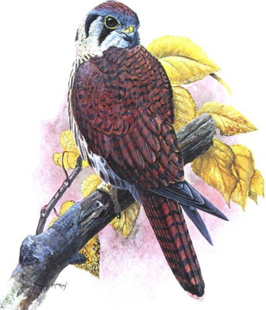 kestral_color