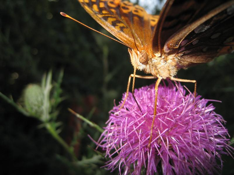 Up close view of a Great Spangled Fritillary butterfly