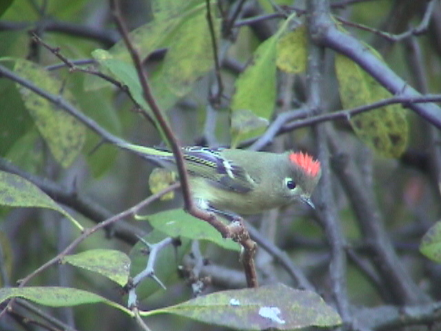 Ruby-crowned Kinglets are abundant in the meadows in October