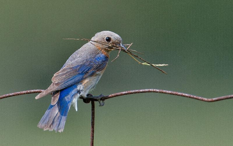female bluebird LK photo