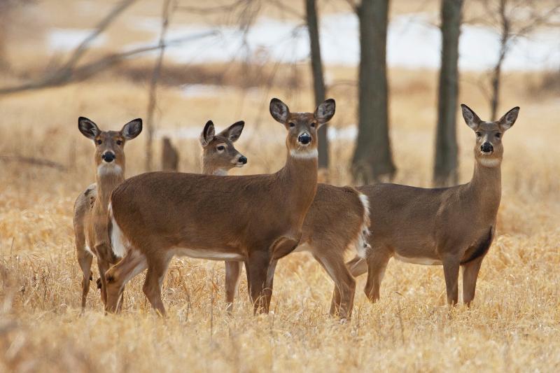 Deer in field A. Stinnissen