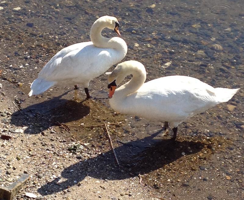 swans eating