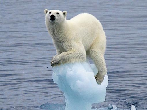 polar bear ice