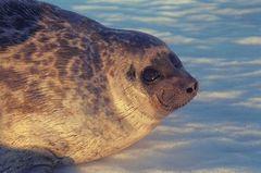 Seal Brendan Kelly