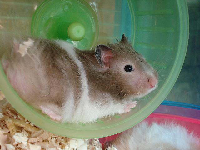 hamster on wheel by haundreis