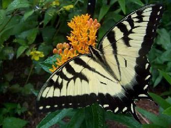 Brenda's butterfly