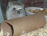 Picture of Winston, the Baby Hedgehog playing with his paper tube.