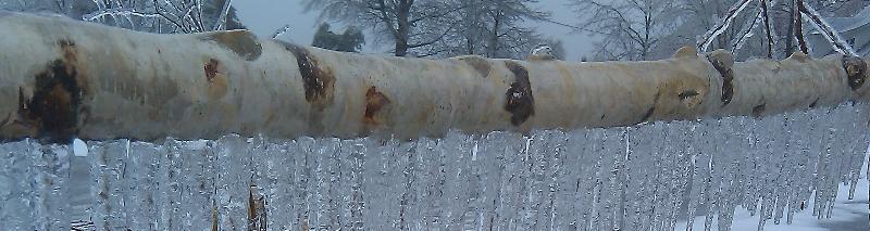 slice birch icicles