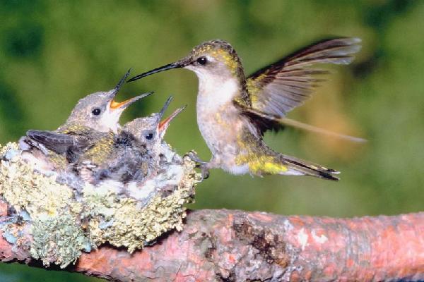 hummingbird and babes