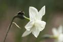 East daffodil