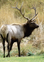 stag contemplates action!