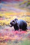 fall bear in meadow