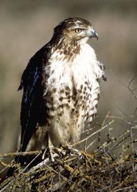 fledgling at edge of nest