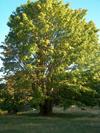 EARTHmapletree