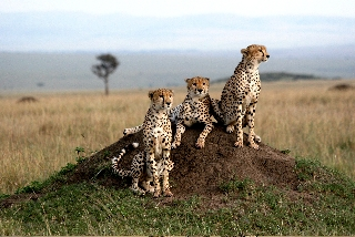 Three cheetah