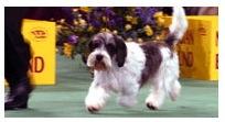 Westminster Kennel Club Dog