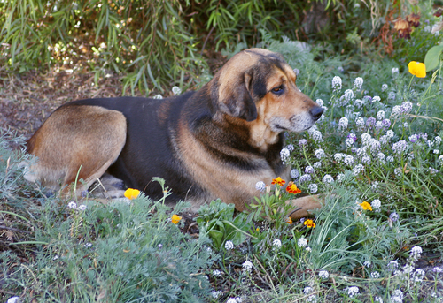 Big Dog in Field of Flowers