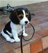 PuppyWithLeash.jpg