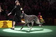 Hickory, Scottish Deerhound, was 2011 winner