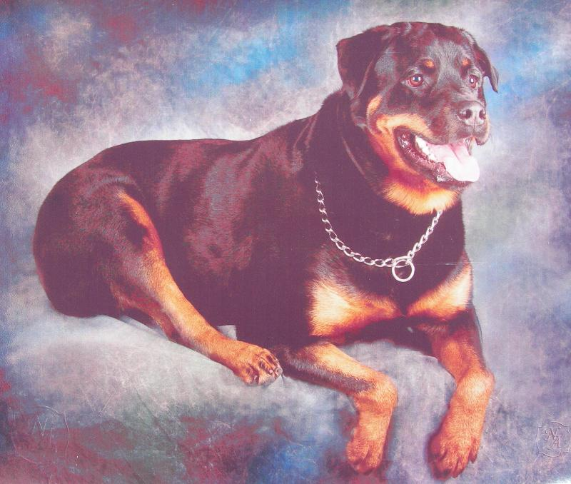 Rottweiler portrait by Hollywoof