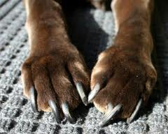 Dog paws with long nails