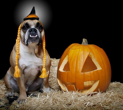 Bulldog in witch costume