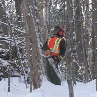 worker cutting tree in woods