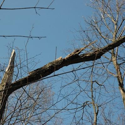 Chicot or dead tree